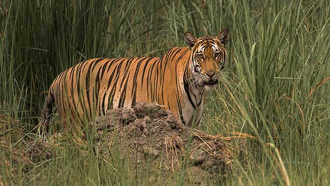 Tiger in Dudhwa National Park