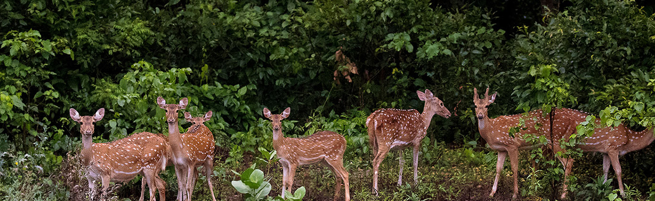Deers in Dudhwa National Park