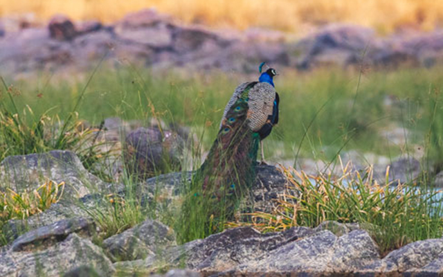 peacock in panna tiger reserve